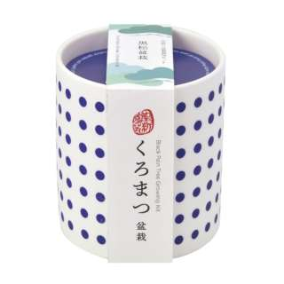 GD-88901 豆絞り盆彩栽培セット 黒松